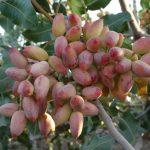 نقش عناصر فروت ست (Fruit set) در تغذیه باغات